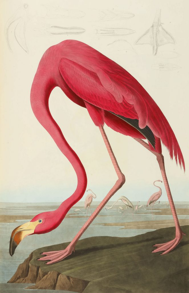 The American flamingo plate from the double elephant folio version of John James Audubon's The Birds of America, which ranks third on the list of the most expensive lots featured on The Hot Bid in 2019.