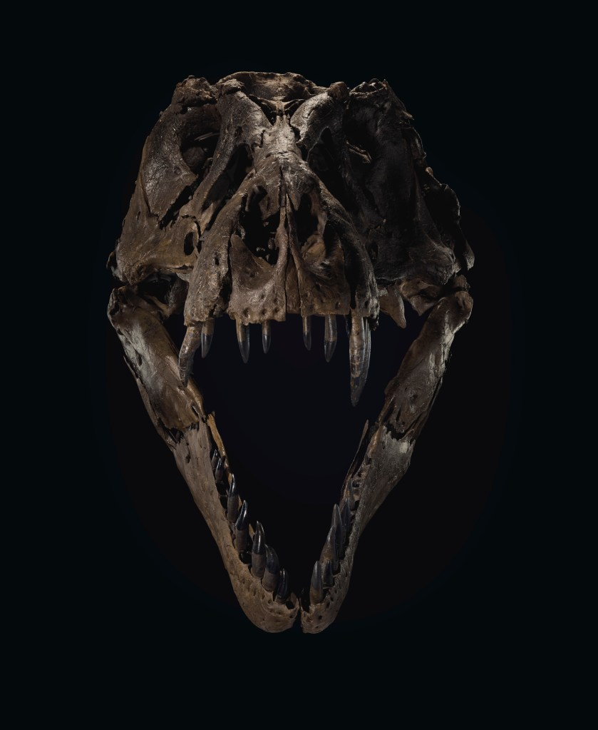 STAN's skull is unusually intact for a T. rex skeleton. Christie's New York has displayed the original at ground level, so visitors to its gallery can examine it up close. The skull on the full skeleton is cast from resin.