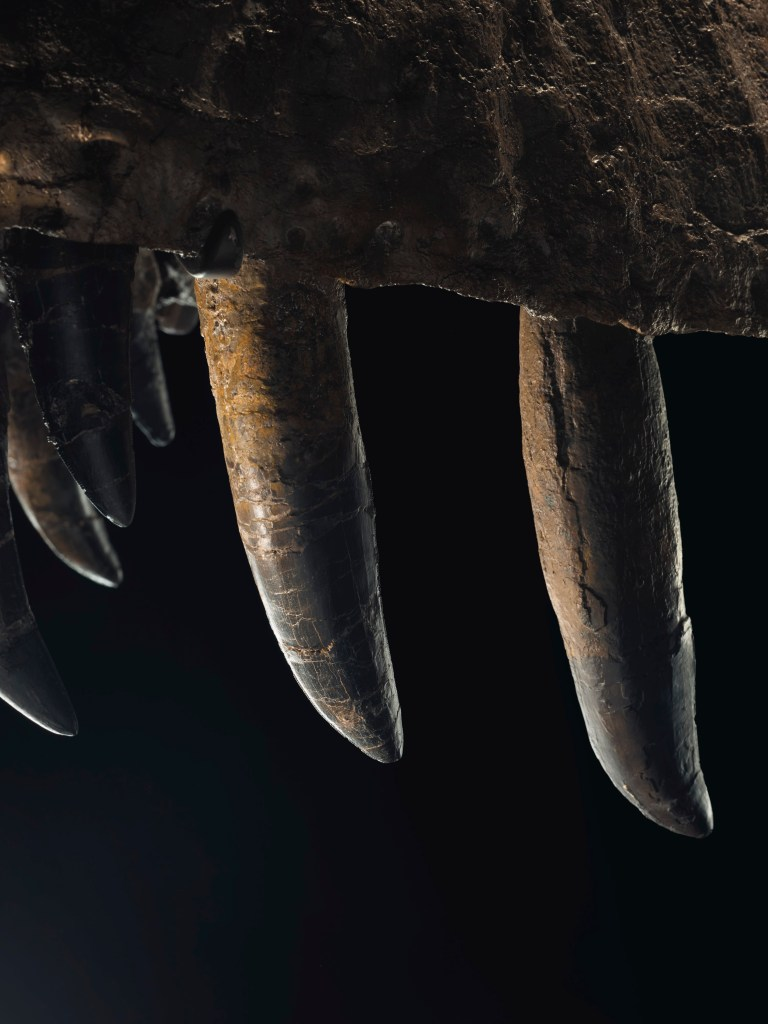 STAN the T. rex's skull retains 30 of its teeth.